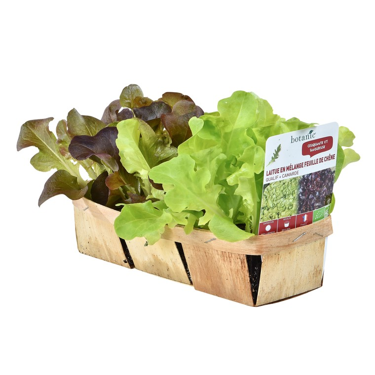 Salades En Mélange. La barquette de 12 plants 447440