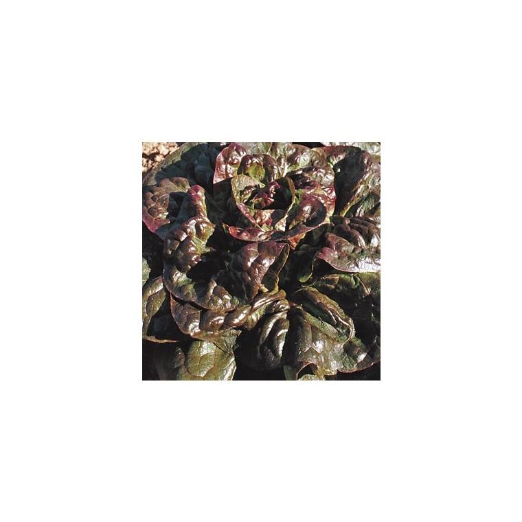 Laitue Rougette Du Midi Escale bio. La barquette de 12 plants 44142