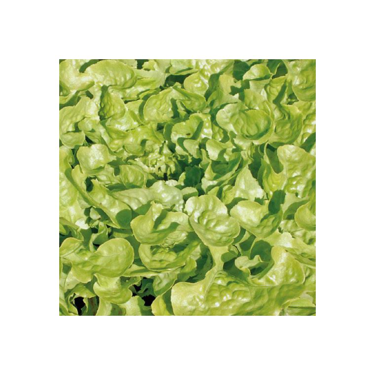 Laitue Feuille De Chêne Verte Kisheri bio. La barquette de 12 plants 447444