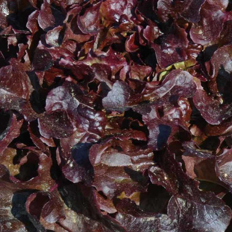 Laitue Feuille De Chêne Rouge Opalix. La barquette de 12 plants 447445