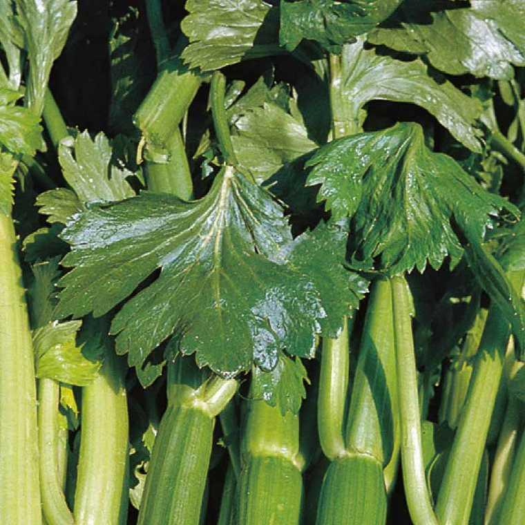 Céléri Branche Doré Day breack. La barquette de 3 plants 41501