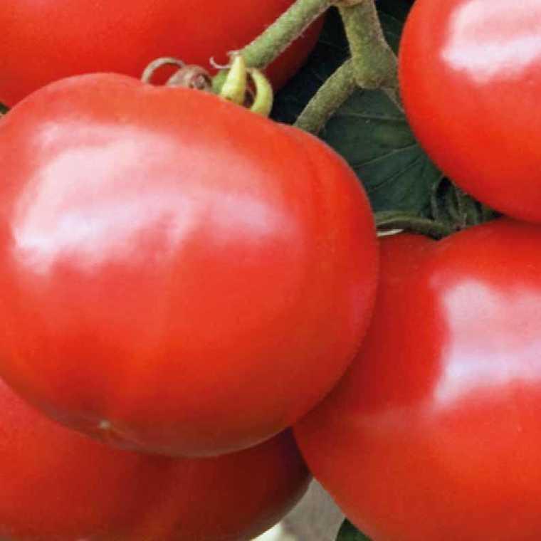 Tomate ronde Estiva Greffée. Le pot de 1 litre recyclé 447473