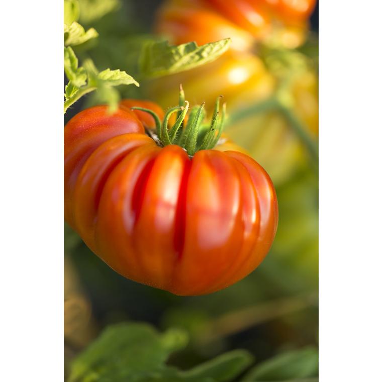 Tomate côtelée Corazon. Le pot compostable de 10,5 cm 447478