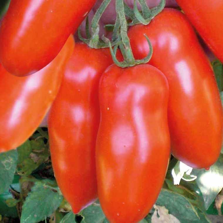 Tomate allongée San Mazano bio. Le pot compostable de 10.5 cm 447483
