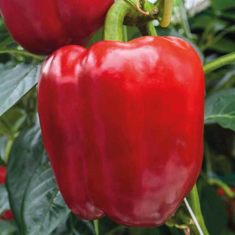 Poivron À Gros Fruits Rouges Prédi bio. Le pot compostable de 10.5 cm 447489