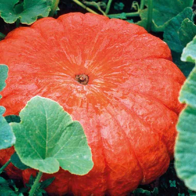 Courge Rouge Vif D'Etampes bio. La barquette de 3 plants 447466