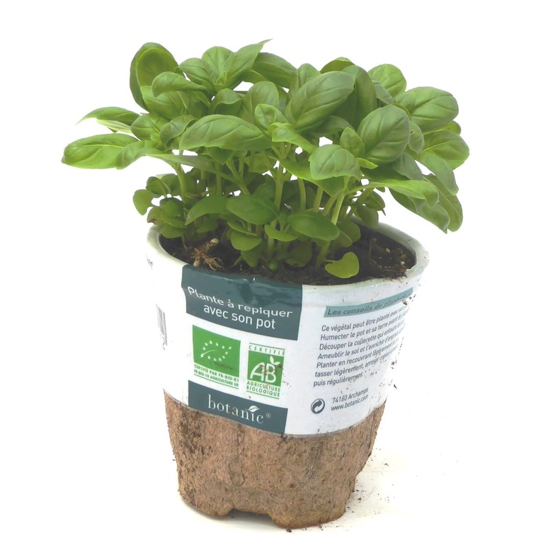 Basilic Grand Vert bio. Le pot compostable de 10.5 cm 450511