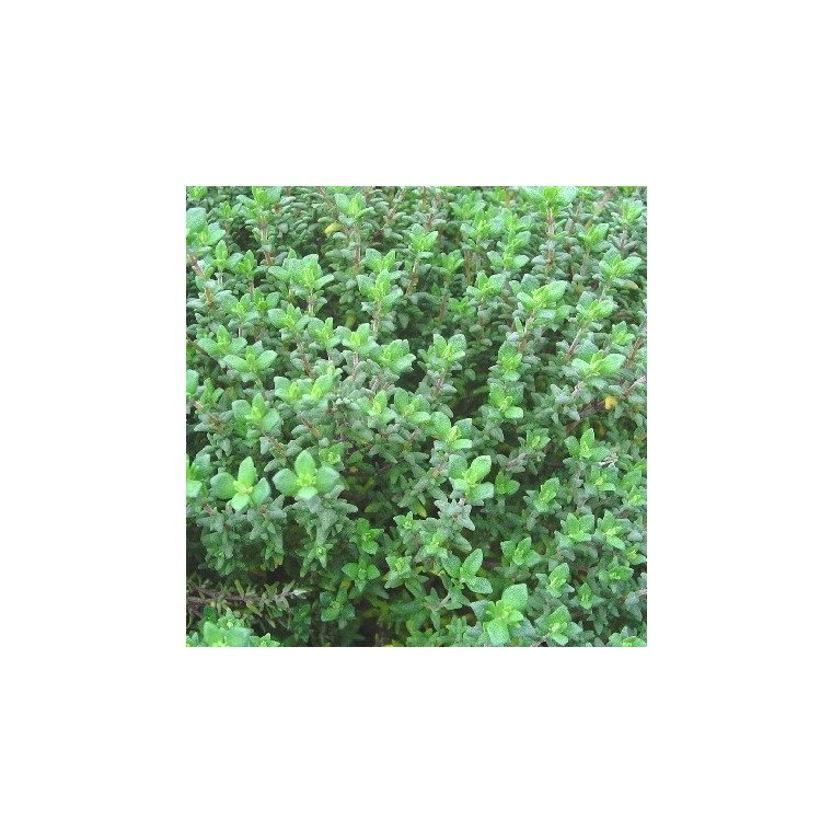 Thym Ordinaire. Le pot compostable de 10,5 cm 450533