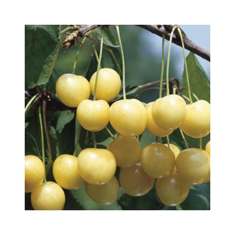 Cerisier Bigarreau Starck Gold ® forme gobelet 45094
