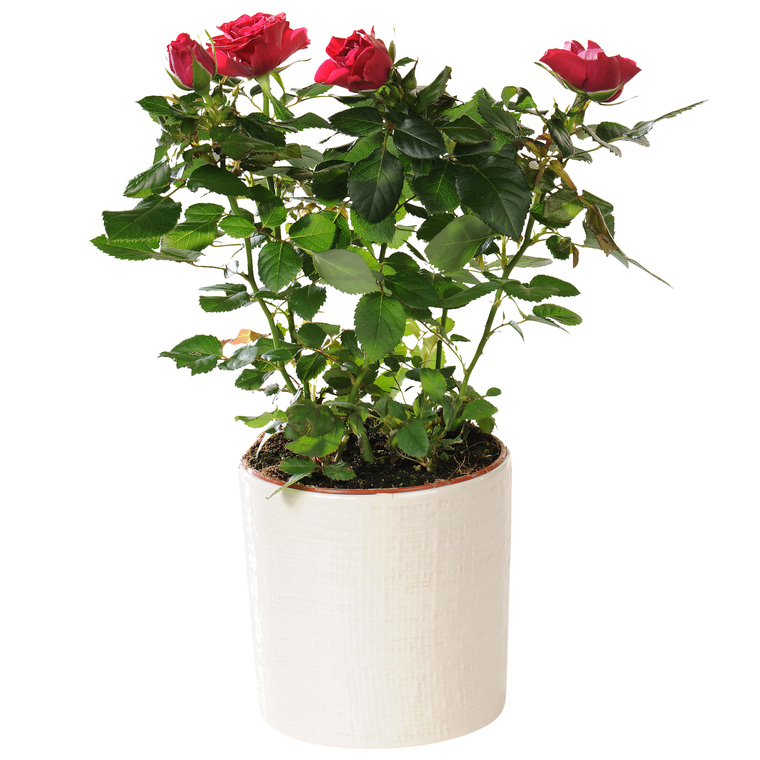 Rosier Patio Hit + cache-pot 451110