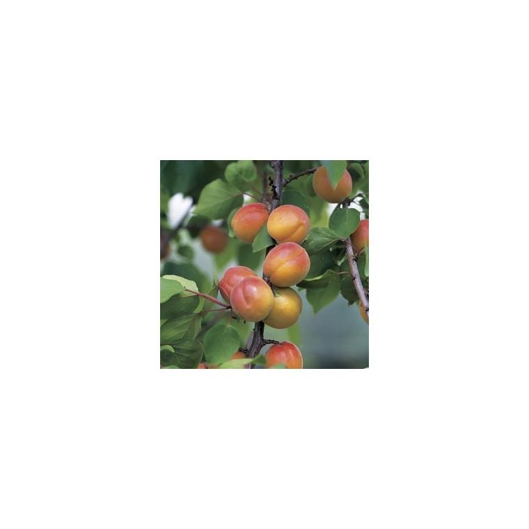 Abricotier Luizet forme 1/2 tige 45130