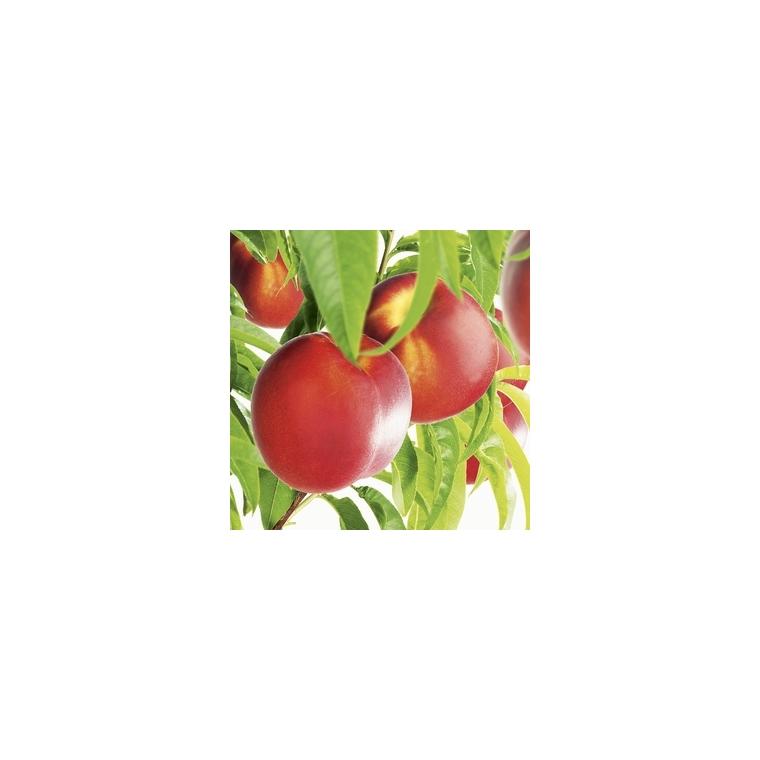 Nectarinier Fantasia forme 1/2 tige 45146