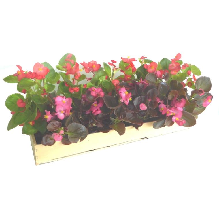 Bégonia semperflorens. La cagette de 14 plants 453110