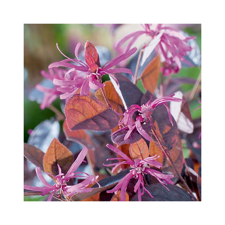 Loropetalum chinensis fire dance en pot de 3 litres 462198