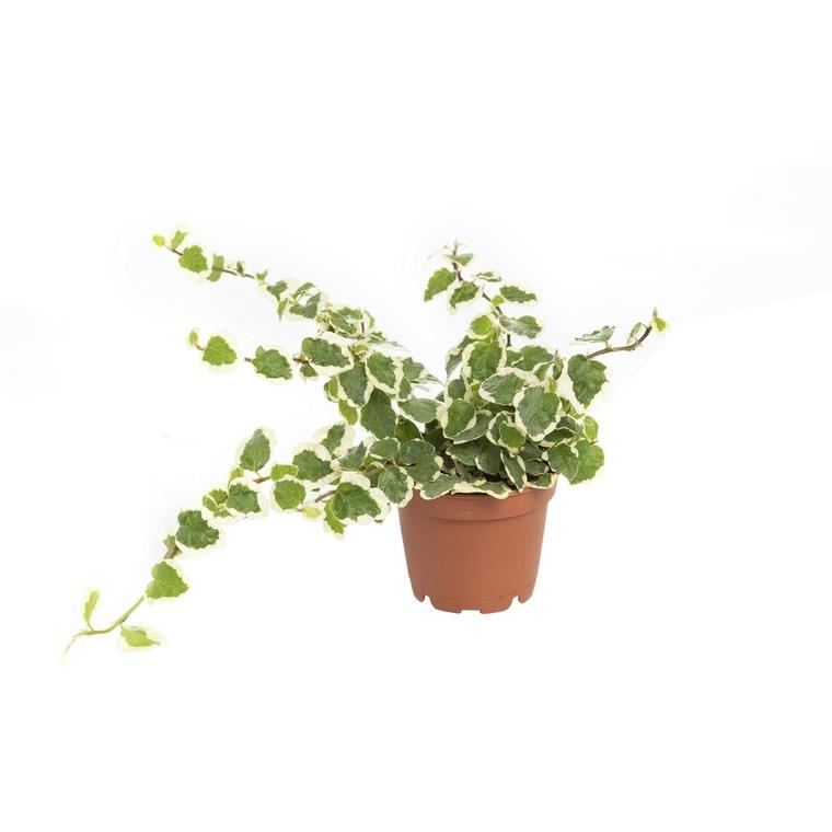 Ficus Pumila en pot Ø 6 cm 462953
