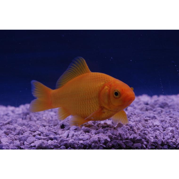 Poisson jaune 7-10 cm 471200