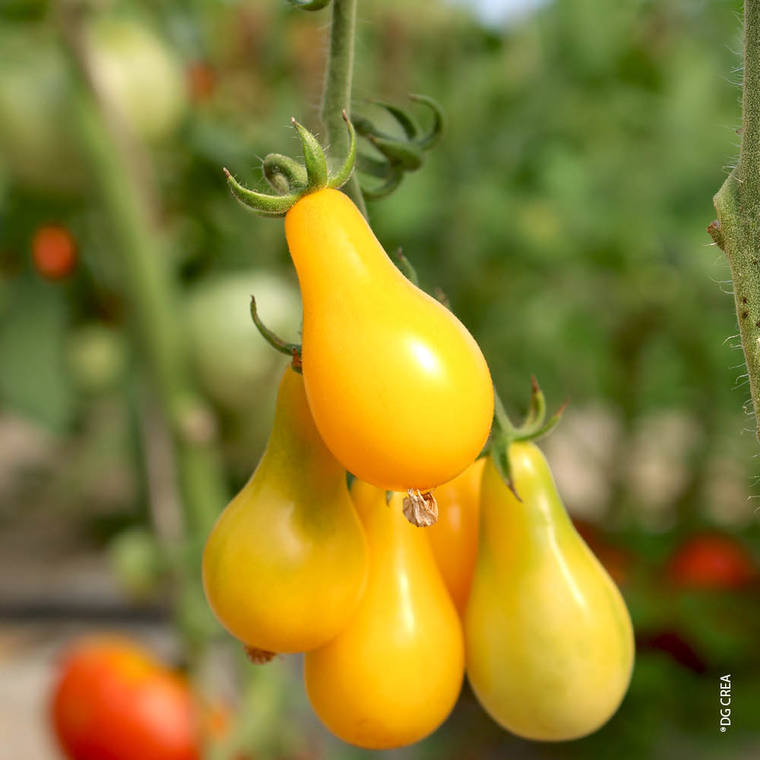 Tomate  cerise allongée Yellow Pearshaped bio. Le pot compostable de 10.5 cm 41512