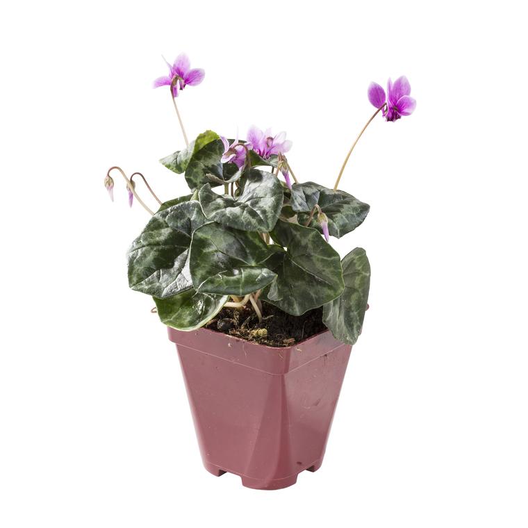 Cyclamen Vivace. Le pot de 10,5 cm 477454