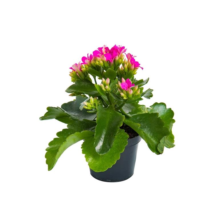 Kalanchoé Calandiva à fleurs doubles plante baby en pot Ø 6 cm 477633