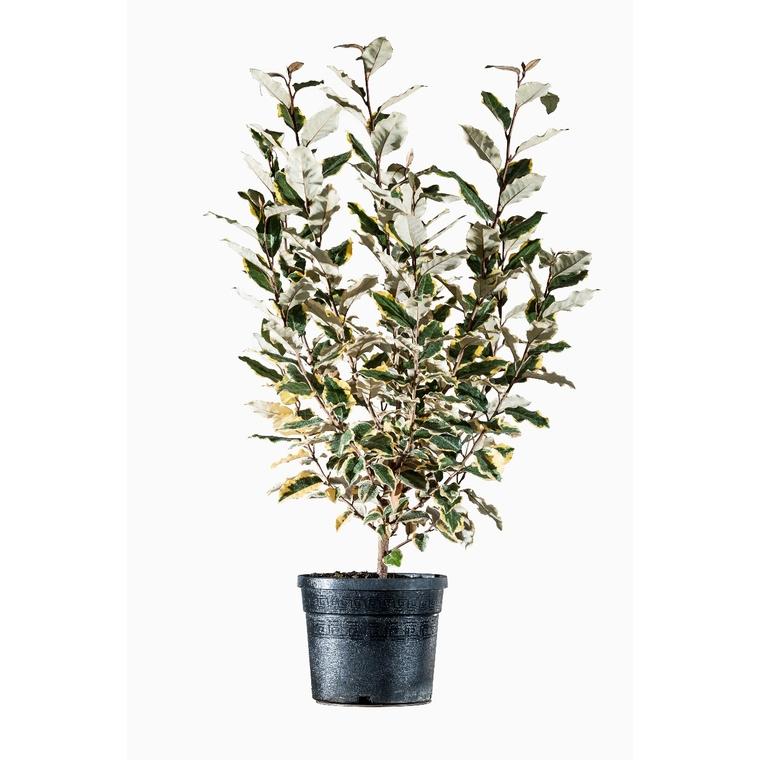 Elaeagnus Ebbingei Limelight Jaune 40/60 cm en pot de 3 L 482152