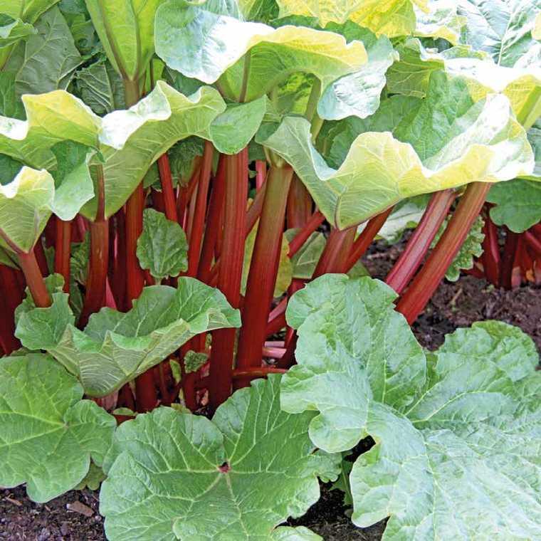 Rhubarbe bio. Le pot de 1 litre recyclé 489118