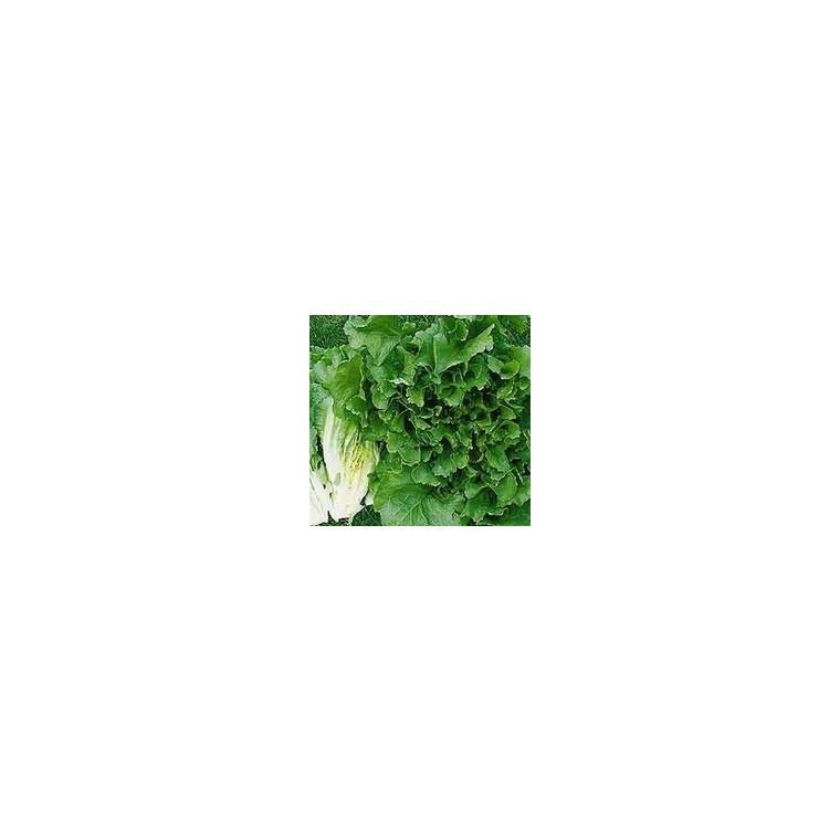Chicorée Frisée bio. La barquette de 12 plants 447447