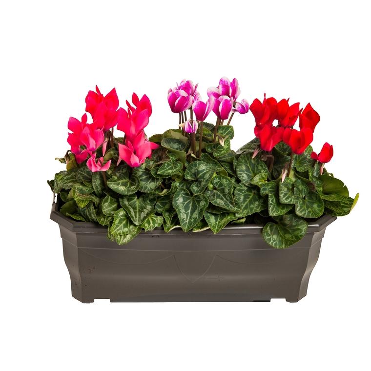 Mini Cyclamen. La jardinière de 40 cm 498112