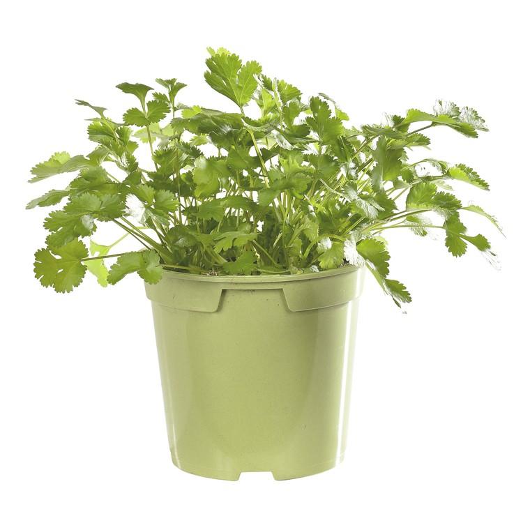 Coriandre bio. Le pot de 1 litre recyclé 49981