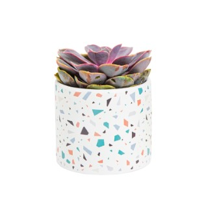 Echeveria + cache-pot céramique, Ø12 cm