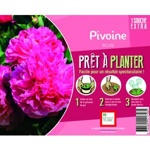 Souche de Pivoine rose extra en bourriche 525887