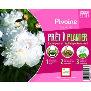 Souche de Pivoine blanche extra en bourriche 525888