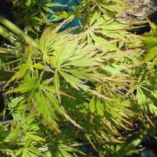 Acer Palmatum Seiryu (érable du japon) en pot de 3 L vert 528374