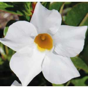 Dipladénia Bella Blanc. Le pot de 9 x 9 cm 534001