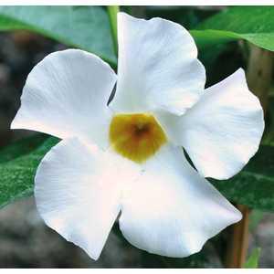 Dipladénia Sanderi Blanc. Le pot de 9 x 9 cm 534008