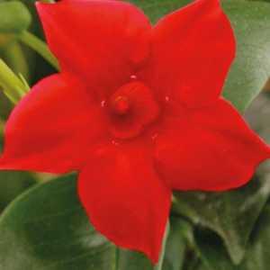 Dipladénia Rio Petite Deap Red. Le pot de 9 x 9 cm 534025