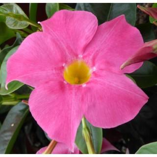 Dipladenia Rio Beauty Corail Pink. Le pot de 9 x 9 cm 534026