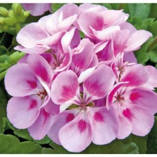Géranium Zonale Violet Sunrise Katinka. Le pot de 12 x 12 cm