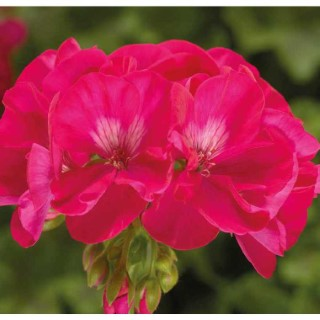 Géranium Calliope Hot Rose. Le pot de 12 x 12 cm