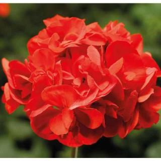 Géranium Calliope Scarlet Red. Le pot de 12 x 12 cm