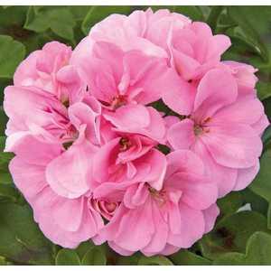 Géranium Royal Light Pink. Le pot de 12 x 12 cm