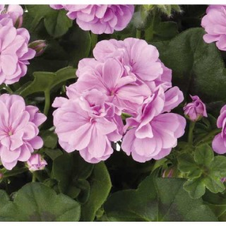 Géranium Toscana medio lavender. Le pot de 12x12 cm