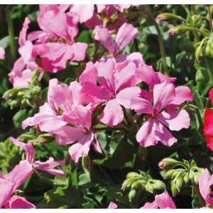 Géranium Marcada Pink. Le pot de 12 x 12 cm