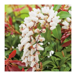 Andromède Japonica Mountain Fire - pot 3 L 560069