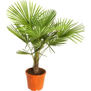Palmier Trachycarpus Excelsa en pot de 30 litres 561178