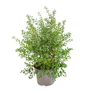 Spirée Vanhoutte blanc - Pot de 7L