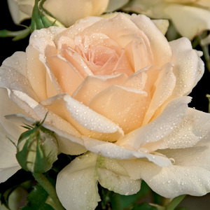Rosier Sweet Love® (ROSIER SWEET LOVE®) Le pot de 3 litres