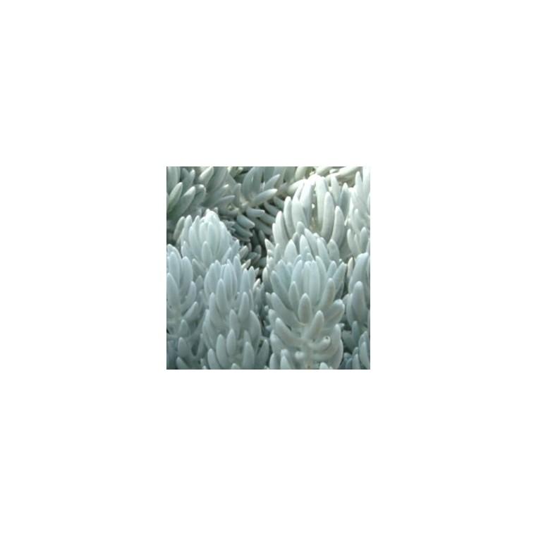 Séneçon Rampant 'Trident Blue'. Le pot de 1 litre 525893