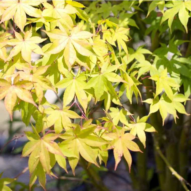 Acer Palmatum Osakasuki (érable du Japon) en pot de 3 L rouge 528373