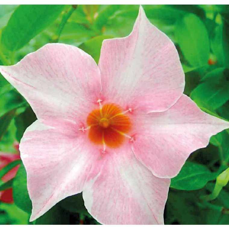 Dipladénia Sundaville Cream Pink. Le pot de 9 x 9 cm 534011
