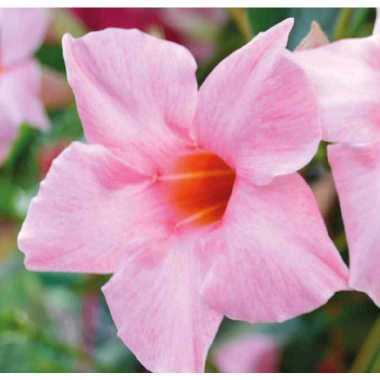 Dipladénia Sanderi Rose. Le pot de 9 x 9 cm 534012